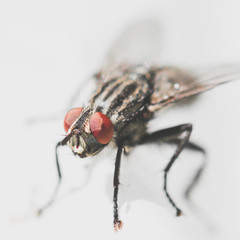 Flesh fly - Sarcophagidae insect closeup macro photo