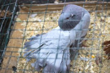Carrier pigeon. Cute bird. Natural Background.