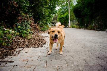 Domestic ginger color dog on the asphalt footpath