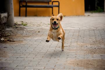 Domestic ginger color dog running on the asphalt walkpath
