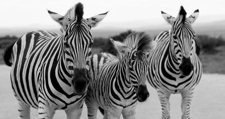 Door stickers Zebra Zebras