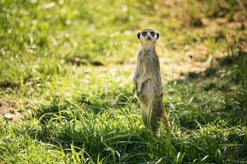 Meerkat on a watch standing