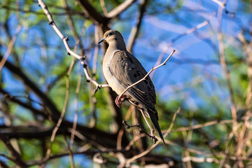 Mourning Dove (zenaida macroura) perced on a slender tree branch. Green foliage and deep blue sky is in the background, In Arizona's Sonoran desert.