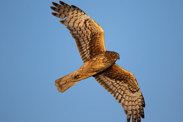 Extremely close view of a hen harrier in beautiful light , seen in the wild near the San Francisco Bay