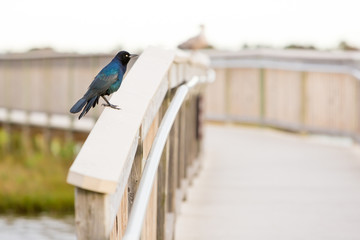A colorful male Grackle perched on a wooden bridge railing at Assateague Island National Seashore, Maryland
