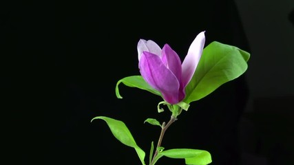 Fotoväggar - Magnolia flower opening time lapse, extreme closeup over black background. Blooming magnolia pink flower. Nature spring scene. 4K UHD video 3840X2160