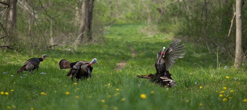 Turkey Brawl