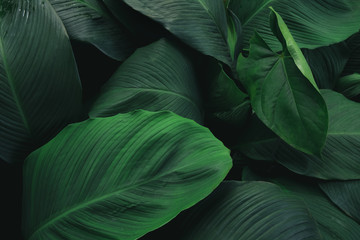 Large foliage of tropical leaf with dark green texture,  abstract nature background.