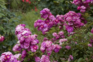 Red color rose bloomed in garden