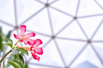 Beautiful Desert rose flower or Mock azalea flowers, Impala lily flower in the Geodesic Dome Greenhouse