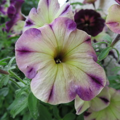 Petunia, colorful flowers bloom in the summer in pots and on the balcony