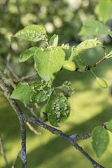 The disease leaves on plum.