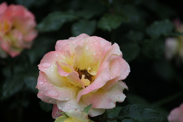 Rose type named Apricot Queen Elizabeth in close-Up isolated from a rosarium in Boskoop the Netherlands