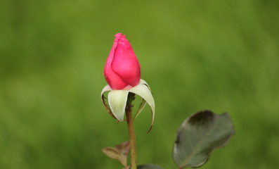 Rose type named Braveheart in close-Up isolated from a rosarium in Boskoop the Netherlands