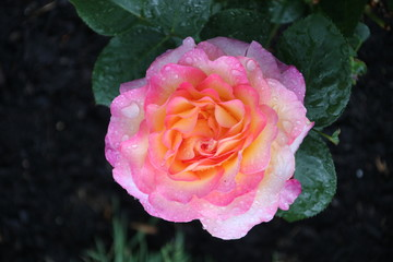 Rose type named bright as button  in close-Up isolated from a rosarium in Boskoop the Netherlands