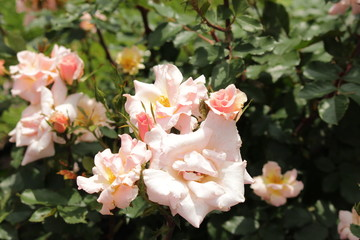 Rose type named Cornelis Vreeswijk in close-Up isolated from a rosarium in Boskoop the Netherlands