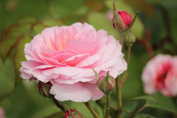 Rose type named Eeuwige Passie in clouse-Up isolated from a rosarium in Boskoop the Netherlands