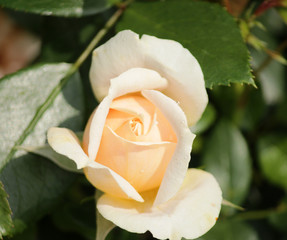 Rose type named garden of Roses  in close-Up isolated from a rosarium in Boskoop the Netherlands