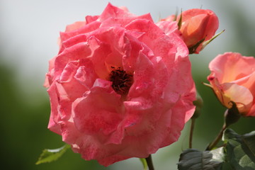 Rose type named Gardeners Glory in close-Up isolated from a rosarium in Boskoop the Netherlands