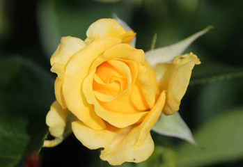 Rose type named Golden Gate in clouse-Up isolated from a rosarium in Boskoop the Netherlands