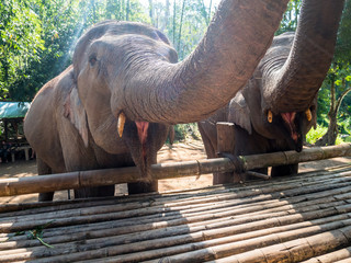 Two beautiful elephants with large trunks while feeding in nature