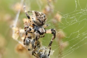 паук со своей добычей