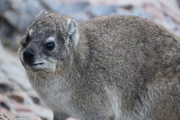 Closeup of a fluffy dassie on the beach in Hermanus in South Africa