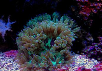 LPS Elegance coral in reef aquarium (Catalaphyllia Jardinei)