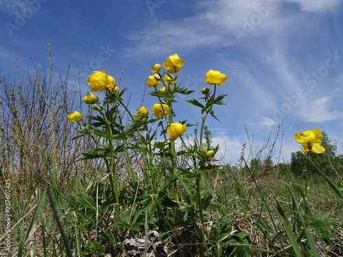 Flowering medicinal plants trollius altaicus stock photo and flowering medicinal plants trollius altaicus mightylinksfo