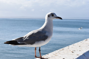 Closeup of a seagull in Mossel Bay, South Africa