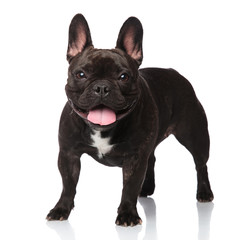 cute panting french bulldog standing