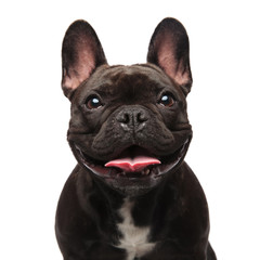 head of happy black french bulldog panting