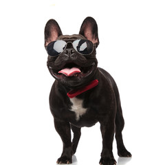 Poster Bouledogue français cool french bulldog with sunglasses and bowtie looks up