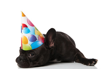 adorable bored little french bulldog with birthday hat lying