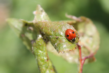 Two-spot ladybird or Adalia bipunctata