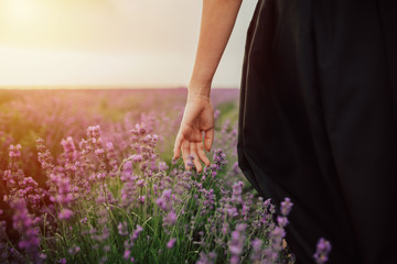 The female hand gently touches the blooming lavender in spring