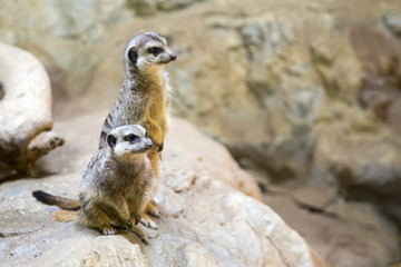 Two meerkats on a rock