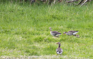 Graylag goose and kids