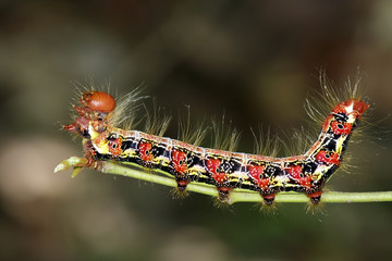 Image of a red-black caterpillar bug on green branch. Insect. Animal.