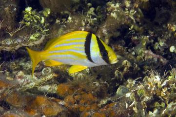 Porkfish, Anisotremus virginicus, Tobacco Cay Belize.