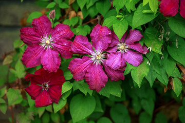 beautiful deep pink, Purple flower Clematis Jackmanii in garden