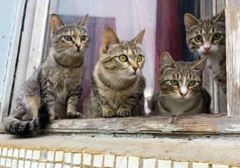 A group of gray cats on a windowsill
