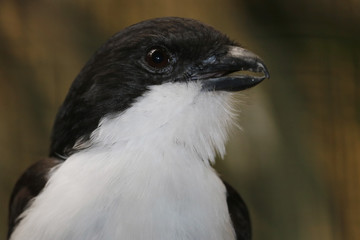 black and white head of a long-tailed fiscal (lanius cabanisi) with the beak slightly open in profile view
