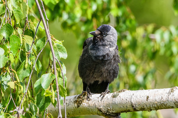 the crow sits on a branch