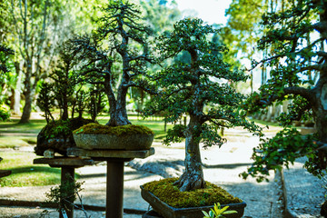 Natural Park Bonsai Tree. In the park