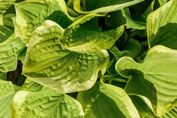 Hosta are widely-cultivated ground cover plants need very little sun