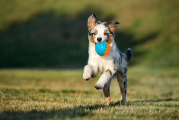 happy puppy running outdoors with a ball