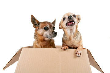 two chihuahuas in a cardboard box on an isolated white background