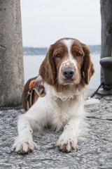 Nice young Welsh Springer Spaniel sitting on a stone pier looking into the camera on a sunny day.