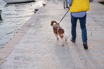 A man walks his long haired Welsh Springer Spaniel dog along the pier in Italy with tourists and a duck in front, boats in the water by the side